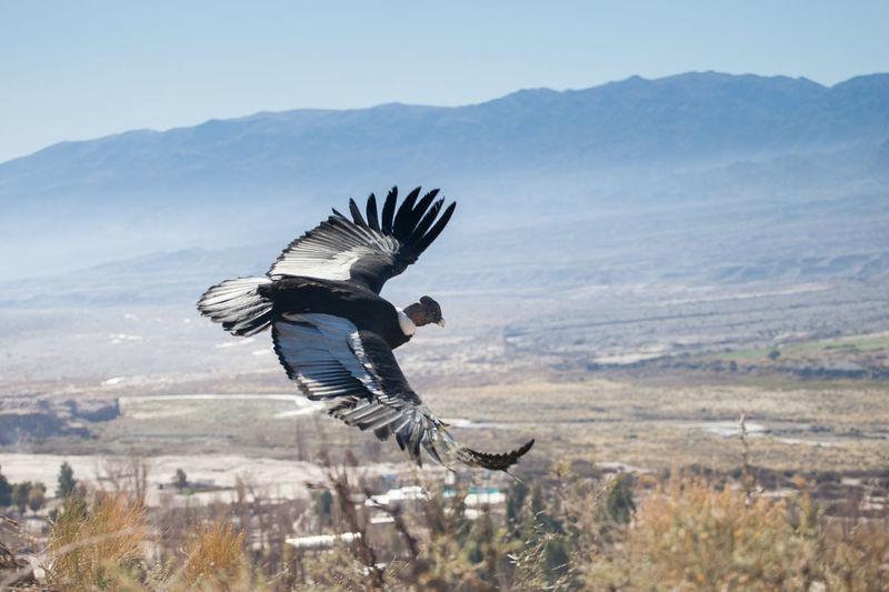 Cóndor  Condor