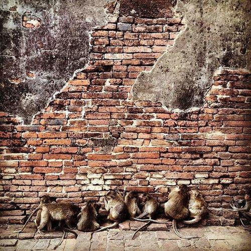 Animal Themes Brick Wall Mammal Monkeys Lopburi Thailand