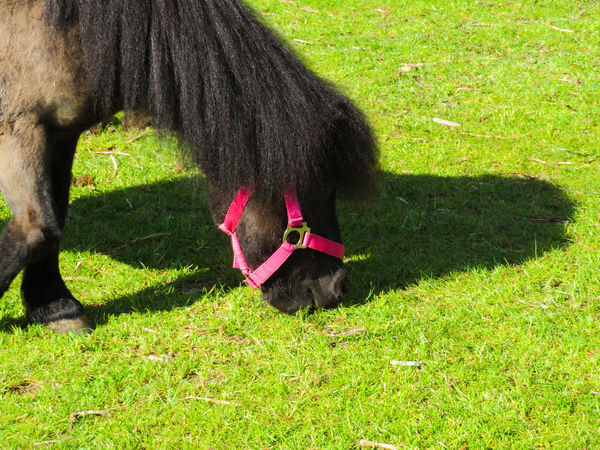 Grass One Animal Mini Horse High Angle View Green Color Domestic Animals Animal Themes Shadow Sunlight Day Mammal Outdoors Nature The Great Outdoors - 2017 EyeEm Awards Neon Life