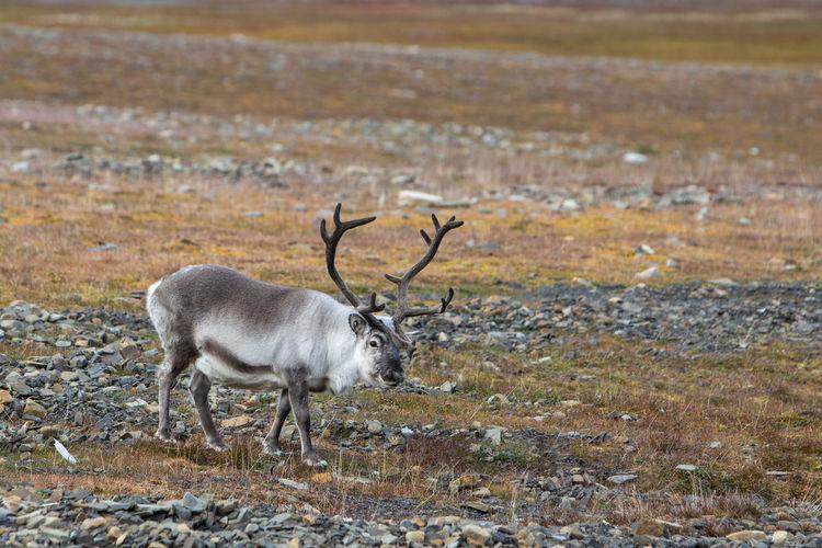 Svalbard reindeer - rangifer tarandus platyrhynchus - in natural habitat in svalbard