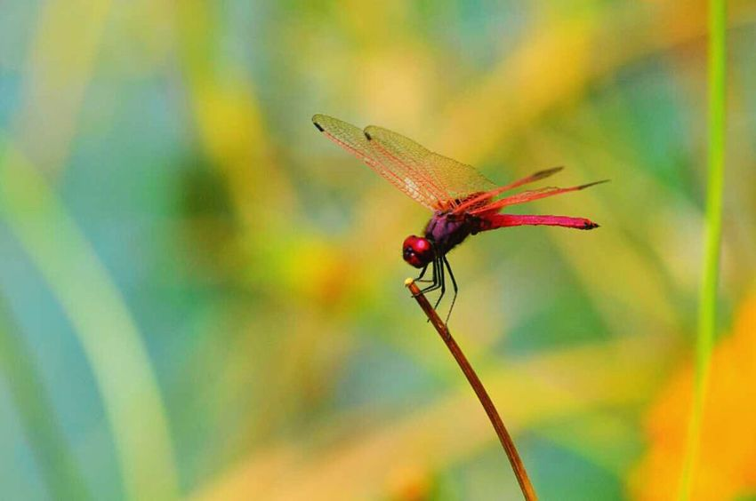 Pink Dragonfly caled Roseate Skimmer found in near Pune . Very beautiful amazing nature . Wildlife with Nikon D3200