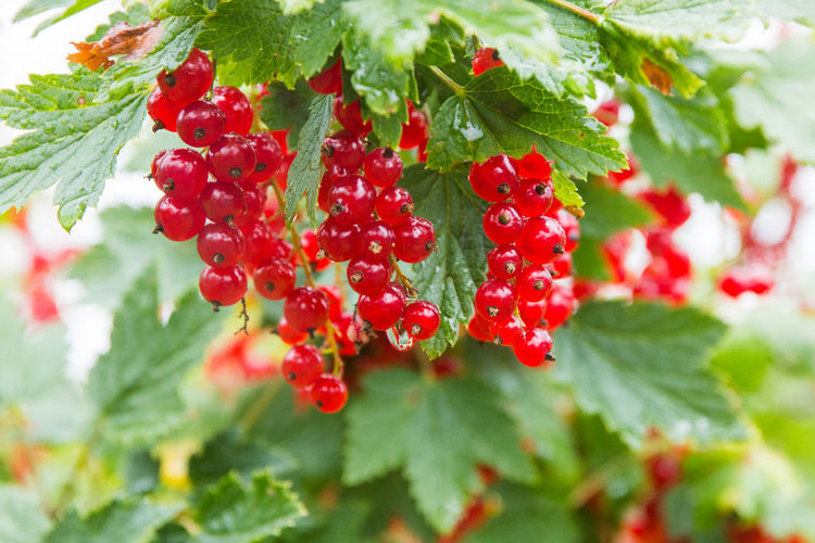 branch of ripe red currant in a garden Beauty In Nature Berry Fruit Close-up Day Focus On Foreground Food Food And Drink Freshness Fruit Green Color Growth Healthy Eating Leaf Nature No People Plant Plant Part Red Red Currant Ripe Rowanberry Selective Focus Wellbeing