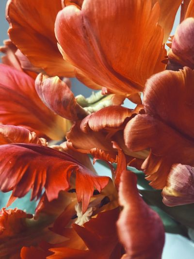 Parrot tulips Colourful Colorful Indoors  Inside Cut Flowers Red Still Life Parrot Tulip Macro Flower Petal Fragility Nature Flower Head Beauty In Nature No People Plant Growth Freshness Day Close-up Full Frame