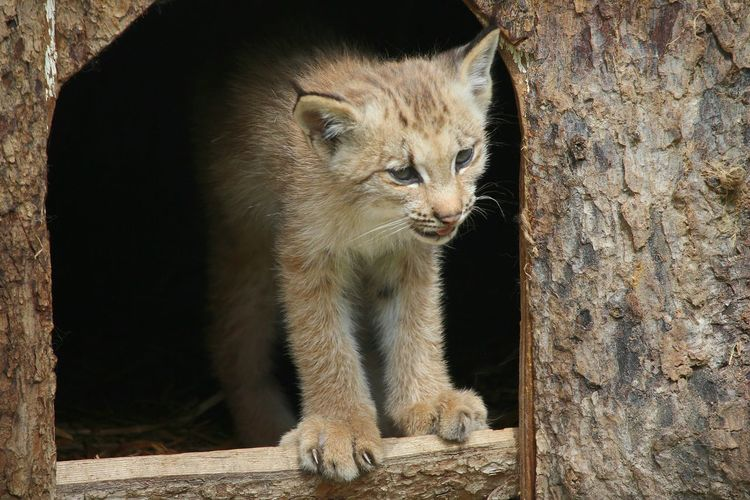 First sreps Lynx Canadensis Lynx Baby Lynx Wildlife Beauty Of Nature Happiness Play Time Animal Wildlife Animal Baby Animal Playtime Freshness Beauty In Nature Close-up