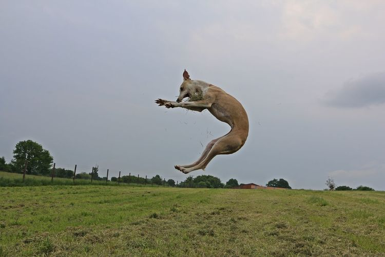 Dog jumping on field against sky