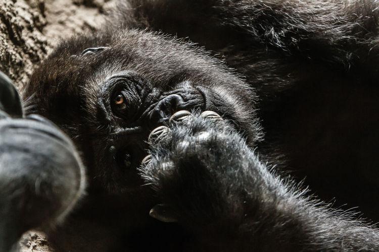 Close-up of gorillas lying on field
