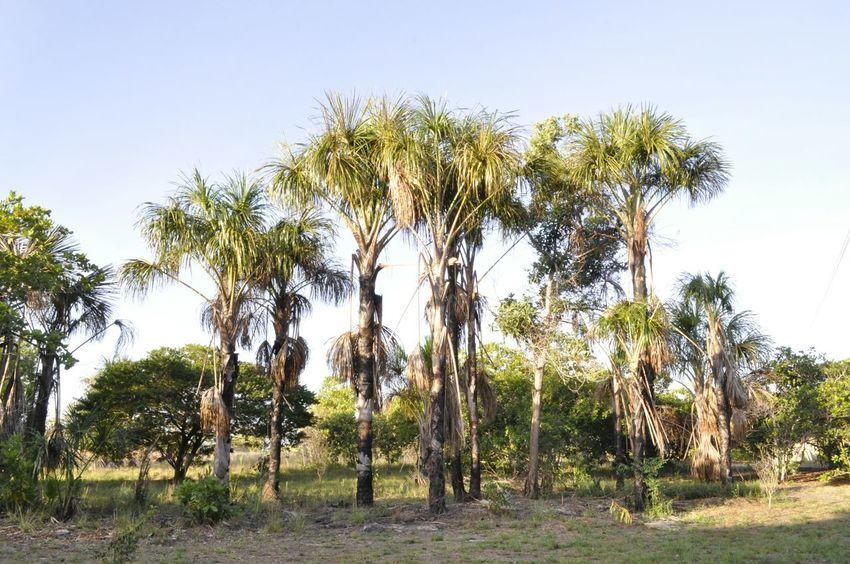Paisagens do serrado. Trees Buritis