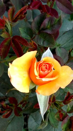 Yellow Rose Flower Flower_Collection Multi Colored Flower Photography EyeEm Best Edits Beauty In Nature Petal Nature Plant Natural Phenomenon EueEm Nature Lover EyeEm Gallery EyeEm Best Shots Getty Image-collection Getty+EyeEm Collection Eyeemphotography Eyeem Market EyeEm Nature Lover EyeEmNewHere EyeEm Team Tranquility Freshness Beauty In Nature Redflower With Yellow Center The City Light Carnival Crowds And Details Minimalist Architecture EyeEmNewHere