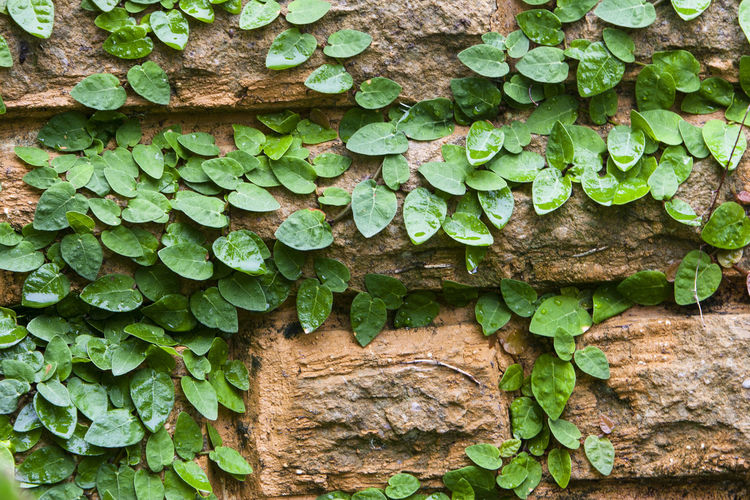 Wall Plant Wall Covered With Plant Plant On The Wall Rain Rainy Days Rainy Day Plant Day No People Growth Close-up Nature Leaf Plant Part Green Color Wall - Building Feature Textured  Outdoors Ivy Iran Mazandaran Iran Mazandaran Ramsar Canon20d Wall