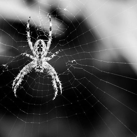 Itsy Bitsy Spider, I don't think so this was massive!!!!! Nature Stourbridge Spider Insectsofinstagram Insect Arachnid Instagood Igers IGDaily Instapic Webstagram Wet Spidersweb Spiders Monochrome Blackandwhite Scary