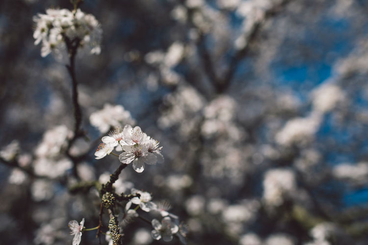 Flower Flowering Plant Freshness Fragility Plant Beauty In Nature Growth Vulnerability  Blossom Springtime Close-up Nature Day White Color Focus On Foreground No People Flower Head Tree Petal Inflorescence Cherry Blossom Outdoors Cherry Tree Pollen