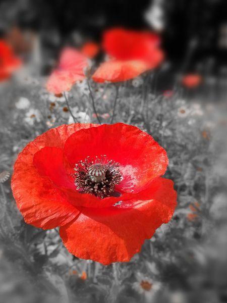 Poppy Fields Remembrance Poppy Flowers Legion British Legion