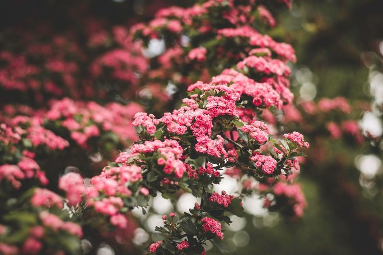 End of spring is closer EyeEm Selects Plant Growth Beauty In Nature Flowering Plant Flower Freshness No People Pink Color Selective Focus Day Close-up Nature Fragility Red Focus On Foreground Outdoors Tree Inflorescence Flower Head