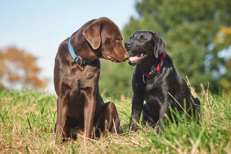 Brown and black Labrador Buddies Brown Labrador  Animal Themes Black Labrador Day Dog Domestic Animals Front View Grass Humans Best Friend Labrador Retriever Mammal Nature No People Outdoors Pets Sitting Two Dogs Two Dogs Relaxing Set Of Three Series Of Three
