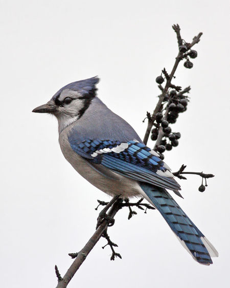Blue jay perching on branch against clear sky