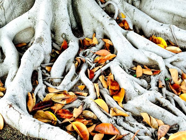 Roots Of Tree Roots Leaves Tropical Tree Trunk Autumn Leaves Coloured Leaves Fall Autumn Autumn Colors Bark Rainforest Natural Pattern Beauty In Nature Jalisco Mexico The Week On EyeEm The Week On EyeEm