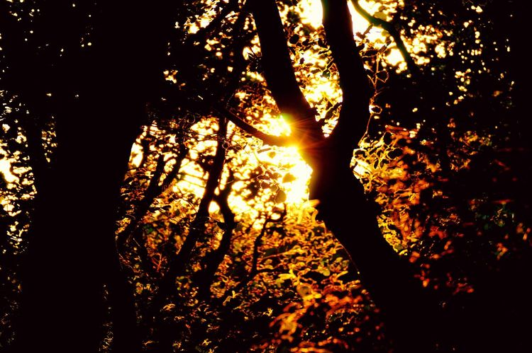 Tree Silhouette Sunset Sunlight Tree Trunk Tranquil Scene Scenics Beauty In Nature Tranquility Branch Nature Sunbeam Sun Orange Color Glowing WoodLand Growth Streaming Outdoors Back Lit