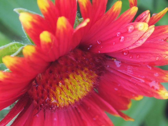 Beauty In Nature Colors Dew Drops Bloom Flower Close-up Foreshortening Dark Pink Fed Up Deep Colors Warmth Nature Yellow