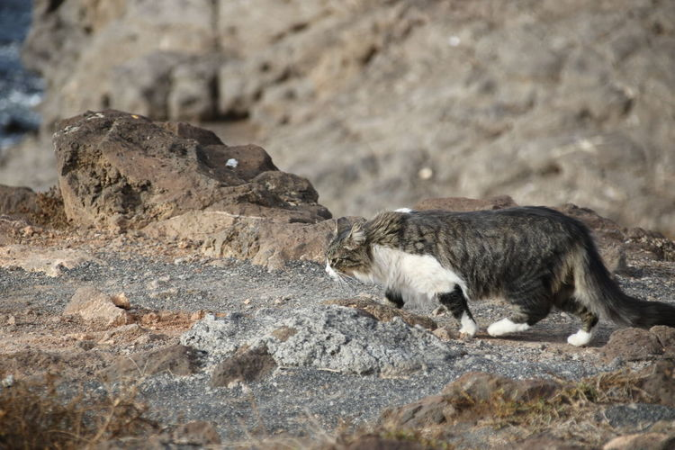 Feral Cat Animal Themes Animals In The Wild Cat Close-up Day Domestic Animals Mammal Nature No People One Animal Outdoors Prowl Prowling Rock - Object Wild Cat