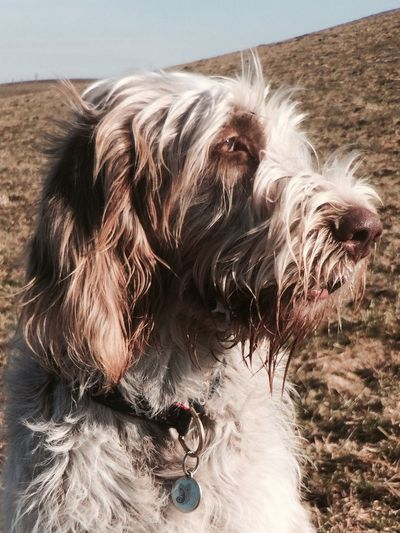 Close-up of italian spinone on field