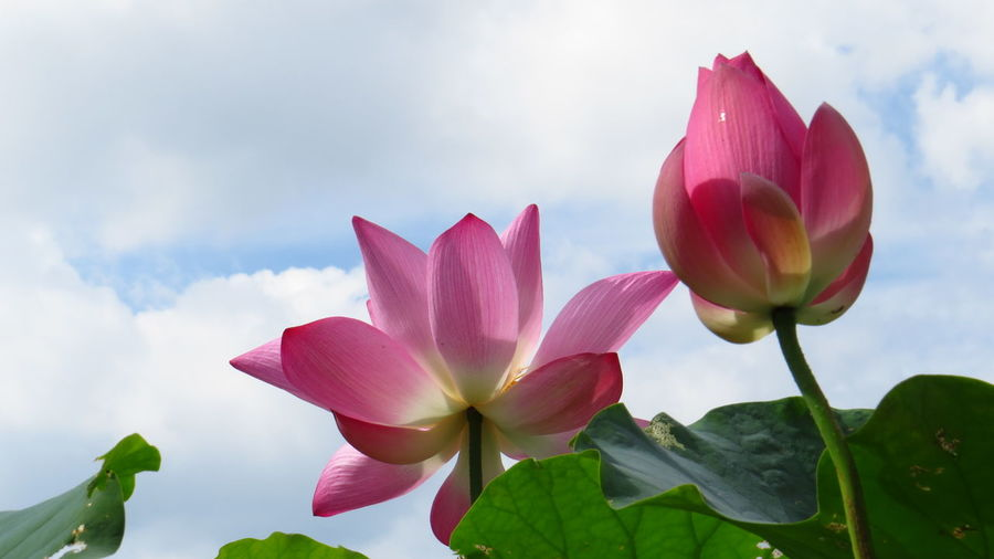 Close-up of pink water lily against sky