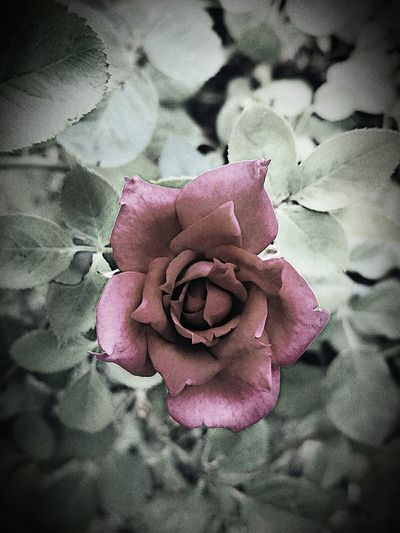 old roses EyeEm Selects Flower Fragility Beauty In Nature Nature Close-up Rose - Flower Outdoors No People GalvestonTexas Petal Day EyeEmNewHere The Creative - 2018 EyeEm Awards The Still Life Photographer - 2018 EyeEm Awards