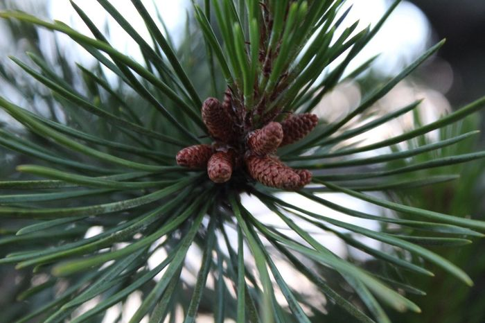 Pine Tree Needle Growth Nature Needle - Plant Part Green Color Pinaceae Tree Plant Day No People Close-up Flower Outdoors Branch Fragility Beauty In Nature