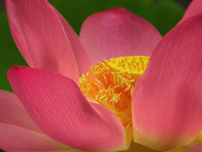 No People Outdoors Flower Petal Plant Growth Nature Pink Color Close-up
