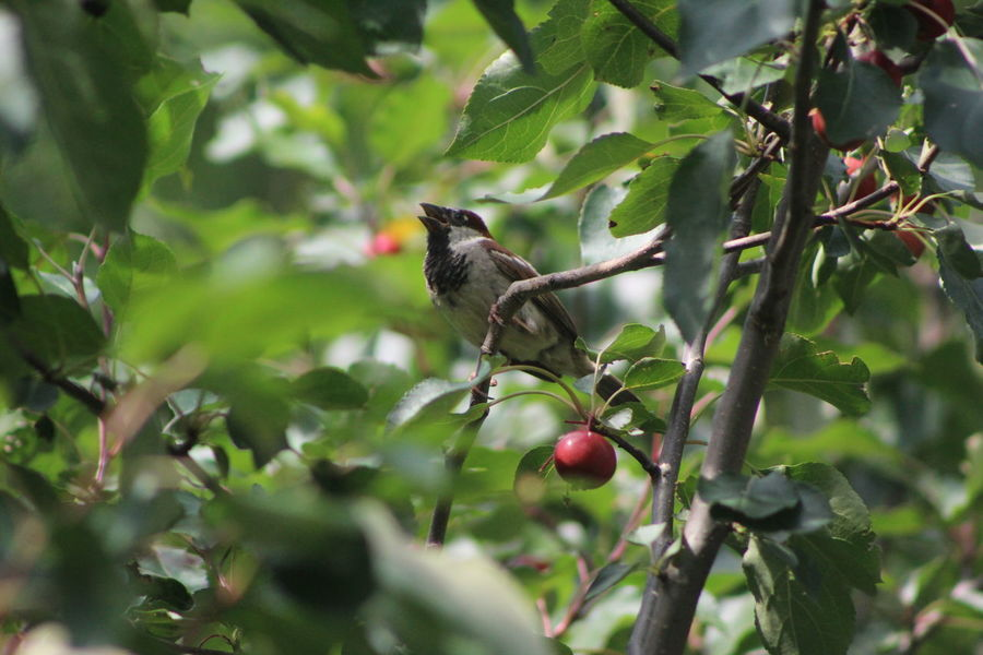 Bird singing in crabapple tree Apple - Fruit Beauty In Nature Berry Fruit Bird Singing Black Color Branch Close-up Day Focus On Foreground Food Fruit Green Color Growing Growth Leaf Nature No People Organic Outdoors Plant Red Ripe Selective Focus Tree Twig