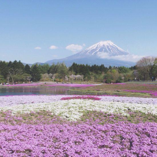 Mountain Mtfuji Shibazakura Nature Pink Flower Scenery