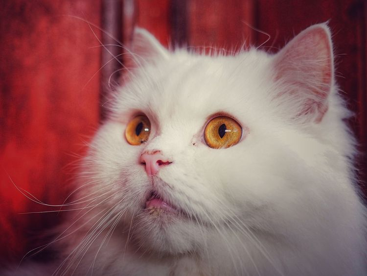 big eyes Big Eyes White Cat Adorable Cat  Animal Collection Cat Lovers Cat Collection Cat Face Elégance Excotic Pets Domestic Cat Domestic Animals Animal Themes Animal Head  Animal Body Part Feline One Animal Animal Portrait No People Mammal Cute Whisker Indoors  Kitten Close-up Day