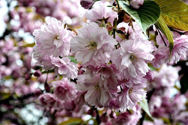 Springtime Flower Head Tree Flower Branch Springtime Petal Pink Color Blossom Botany Close-up Cherry Tree Cherry Blossom Stamen Pistil Pollen In Bloom Fruit Tree