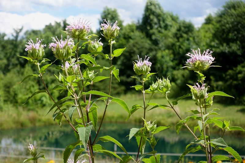 Wildflower Monarda fistulosa. Jackson, Ohio USA Flower Growth Nature Plant No People Fragility Beauty In Nature Day Outdoors Leaf Blooming Focus On Foreground Green Color Flower Head Freshness Close-up Sky Monarda Monarda Fistulosa Ohio MidWest Ohio, USA Field
