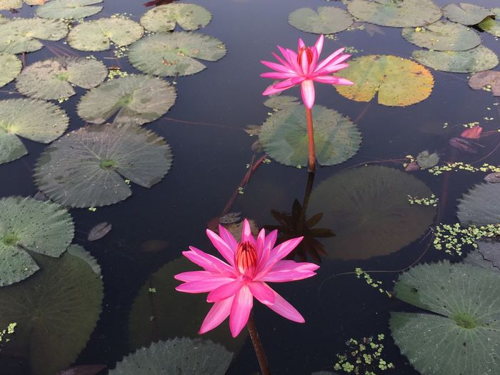 Flower Flowering Plant Pink Color Plant Beauty In Nature Fragility Vulnerability  Petal Plant Part Leaf Freshness Flower Head Growth Inflorescence Water Lily Water Lake Nature Floating Floating On Water No People Outdoors Lotus Water Lily Springtime Pollen