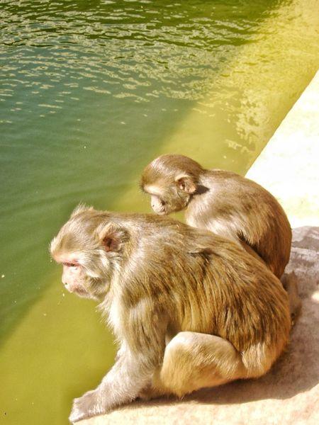 Monkey Business Monkeys Primates EyEmNewHere Apes Monkey Temple Sacred Monkeys Hindu Temple Poolside Pool Contemplating Contemplating Life Monkey Couple Couple Two Monkeys India