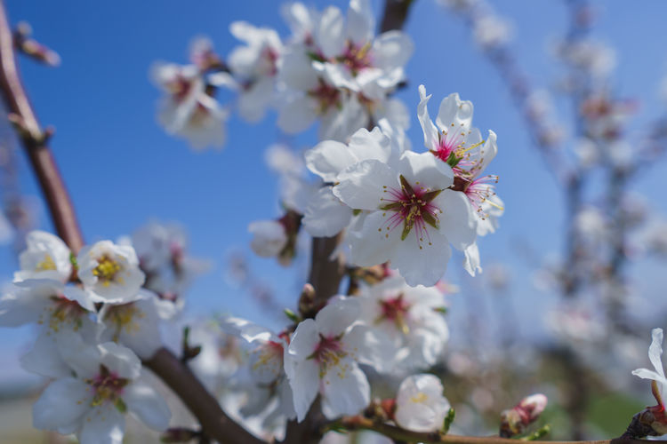Flowering Plant Flower Plant Freshness Growth Fragility Vulnerability  Beauty In Nature Blossom Tree Springtime Nature Cherry Blossom Petal Day Branch Fruit Tree Close-up No People Pollen Flower Head Cherry Tree Outdoors Spring