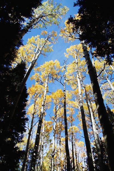 View from below tall aspen trees in the autumn as the leaves change color Fall Leaves Fall Colors Fall Colors Fall Beauty Fall Aspen Tree Low Angle View Growth Nature Beauty In Nature Day Branch Sky Outdoors Tranquility Scenics Flower Freshness No People Forest Tree Trunk