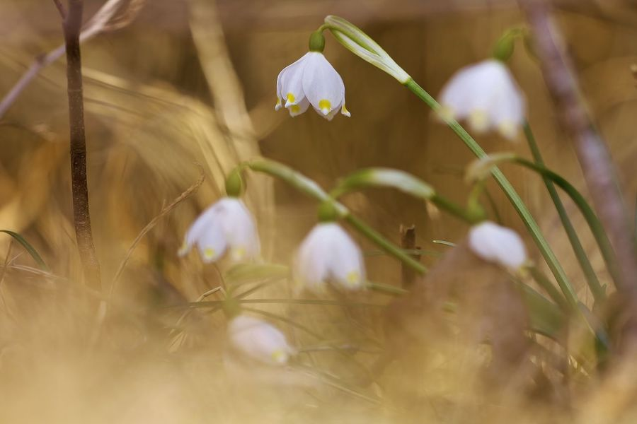 Leucojum vernum Beauty In Nature Blooming Close-up Crocus Day Flower Flower Head Fragility Freshness Growth Nature No People Outdoors Petal Plant Selective Focus Snowdrop White Color