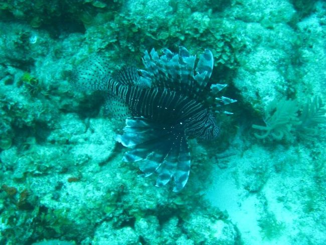 Diving Cuba Lionfish No Filter