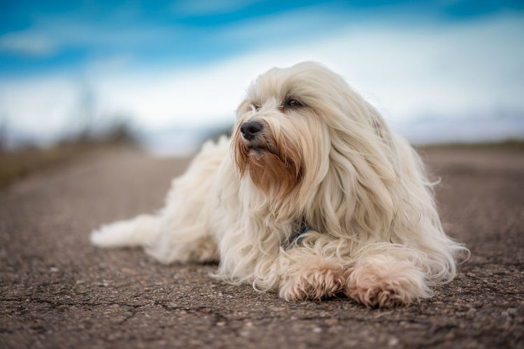 Animal Hair Animal Themes Cute Day Dog Domestic Animals Mammal Nature No People One Animal Outdoors Pets Portrait Sitting Sky West Highland White Terrier