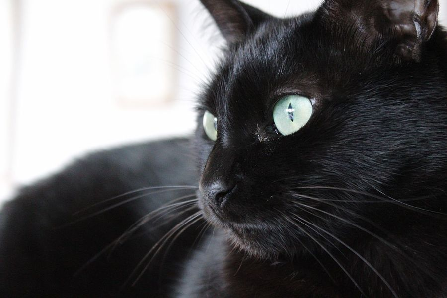 EyeEm Selects Domestic Cat Pets Black Color Domestic Animals One Animal Mammal Animal Themes Feline Indoors  Whisker Portrait Close-up Yellow Eyes Black Cat Black Cat Photography Black Cats Black Cat Collection Black Cat Head Shot Feline Portraits Feline Friend Feline Eyes Feline Portrait Cat Cats Of EyeEm
