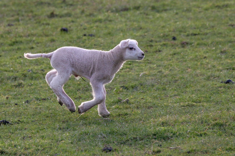 Spring Lambs Mammal Animal Domestic Animals Domestic Animal Themes Pets Grass One Animal Dog Canine Plant Field Land Day No People Sheep Nature Standing Full Length Side View Weimaraner Herbivorous Profile View
