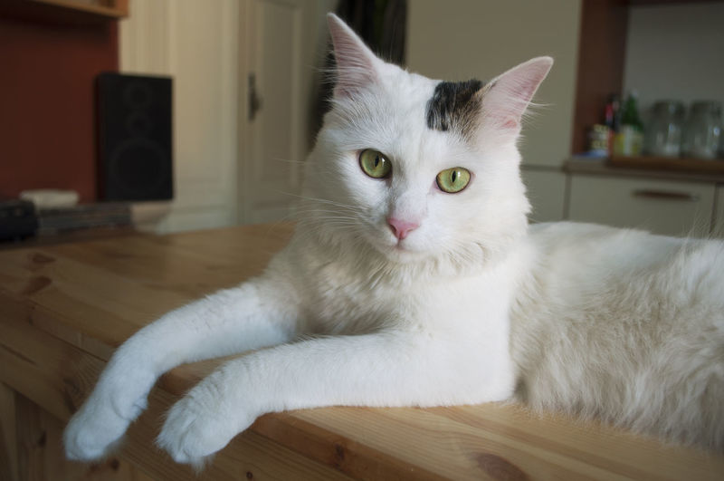 Close-up portrait of white cat on table at home