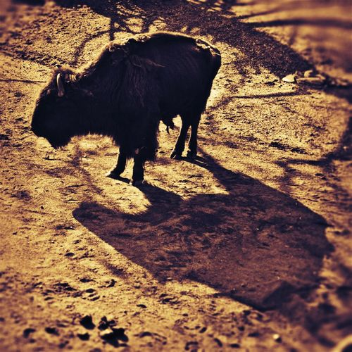 Back To Home Buffalo Shadow Tatonka