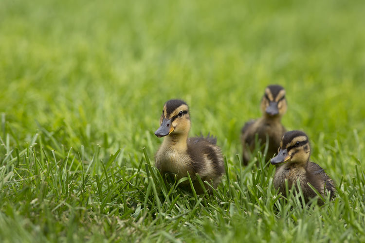 Close-Up Of Ducks On Grassy Field