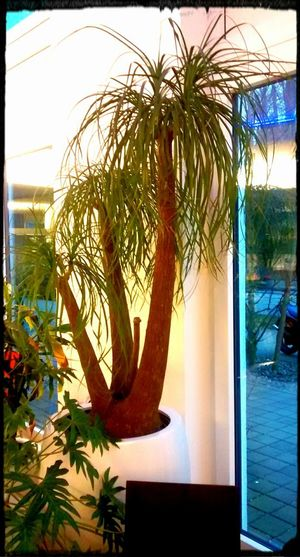 Palm Tree Flowers_collection Plant No People Tropical Climate Nature Tree Elefantenfuss WOW