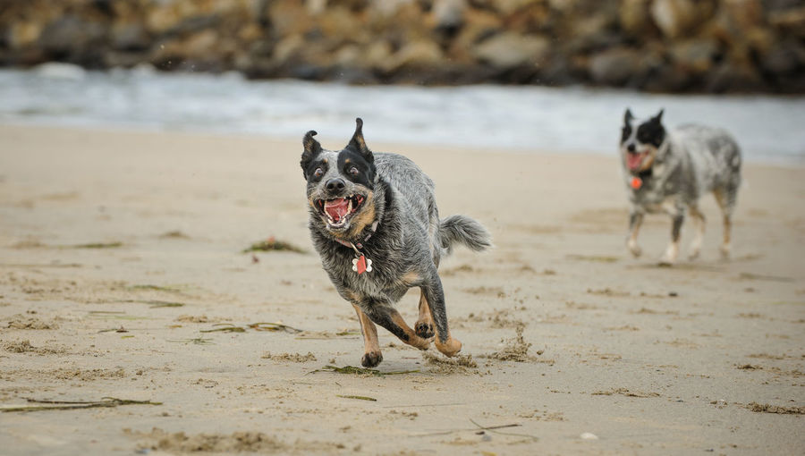 Australian Cattle Dog running like crazy on beach Canine Dog Domestic Animals Pets Beach Sand Running Motion Day No People Land One Animal Animal Themes Australian Cattle Dog Cattle Dog Running Crazy Maniac Funny Funny Faces