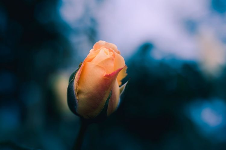 Rose 🌹 EyeEm Best Shots EyeEm Nature Lover Selctive Focus EyeEm Selects Close-up Beauty In Nature Focus On Foreground Vulnerability  Flowering Plant Flower Fragility No People Growth Petal Plant Flower Head Freshness Inflorescence Rosé Rose - Flower Nature Day