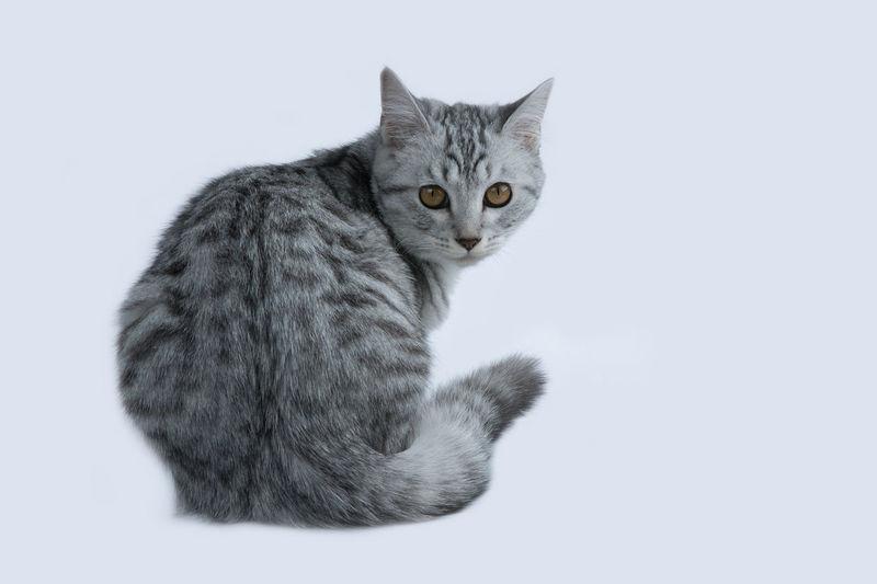 Studio Shot Cat