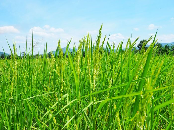 Rice paddy field and blue sky Green Nature Fresh Thailand Field Rice Rural Scene Cereal Plant Agriculture Field Sky Grass Close-up Green Color Cloud - Sky Rice Paddy Plantation Farmland Agricultural Field Rice - Cereal Plant Farm